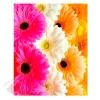 Пакет КАРТОН-БОЛЬШОЙ Разноцветные герберы, 32*40 см
